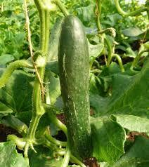 Cucumber - English