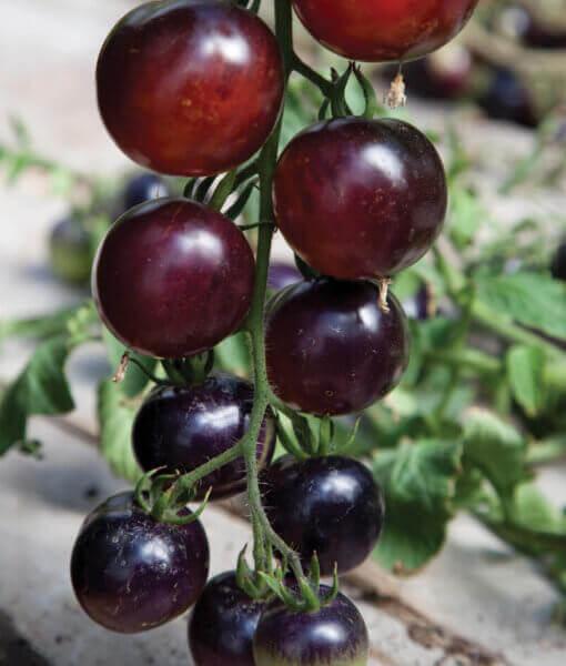 Tomato-Indigo Rose