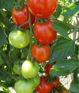 Tomato-Moneymaker