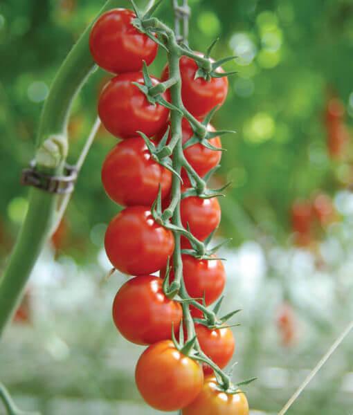 Tomato-Sakura