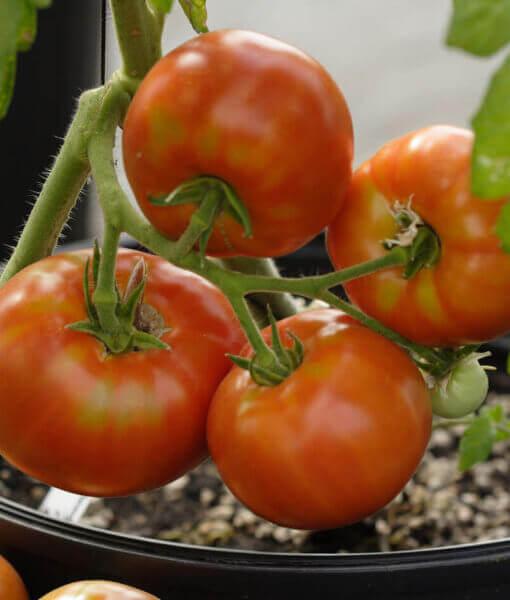 Tomato-Siletz