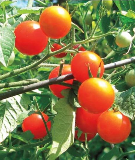 Gardeners Delight Cherry Tomato