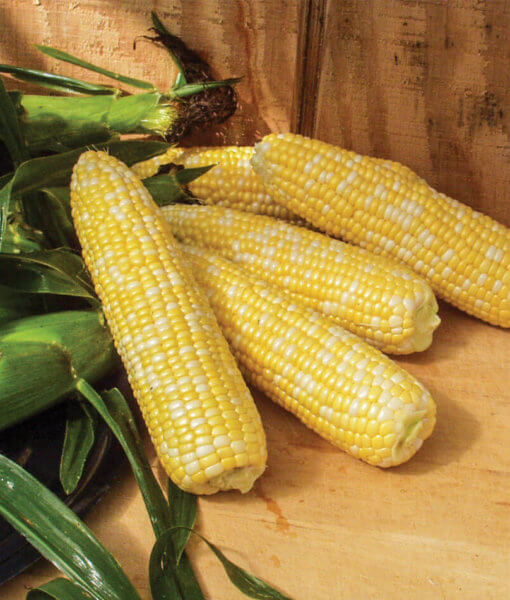 Awesome Organic Corn From Seeds-