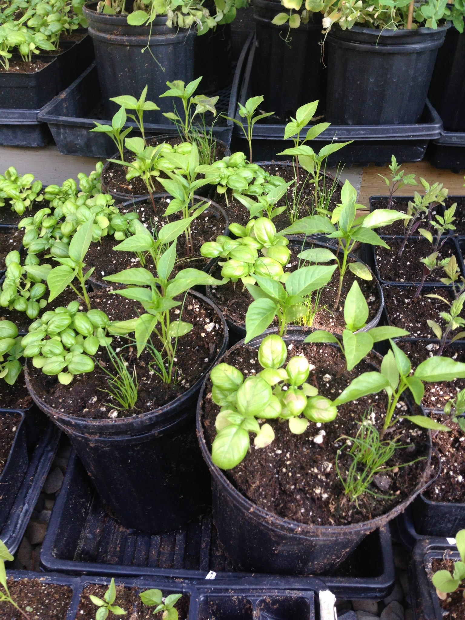 Hot Herb Bundle ( Basil, Chives & Peppers )
