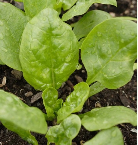 Corvair (spinach)