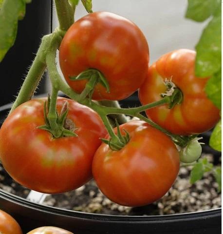 Siletz (Tomatos)