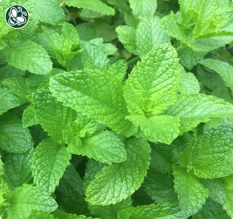 Spearmint (Mint)